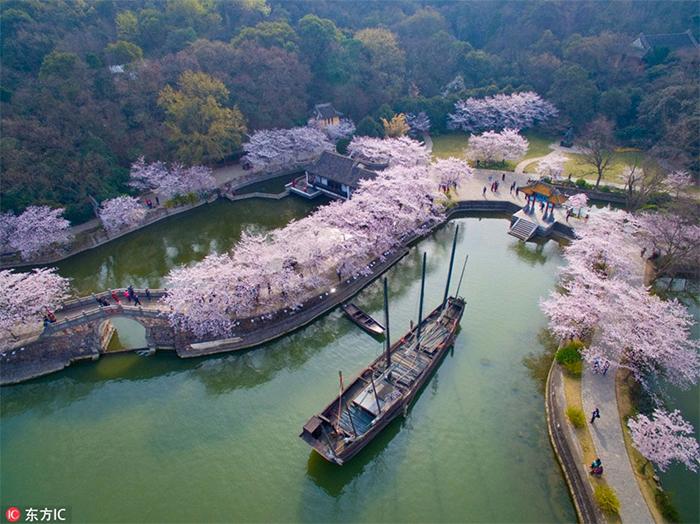 Цветущие сакуры в Китае.