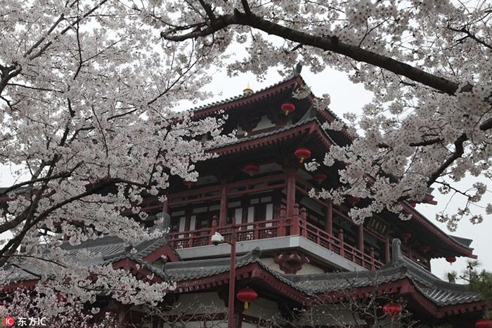 Белоснежные цветы. Деревья в провинции Шэньси.