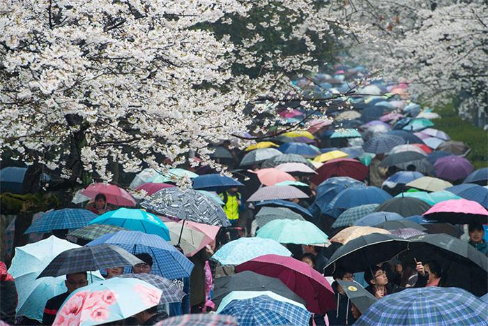 Цветущие сакуры в провинции Хубэй в Китае.