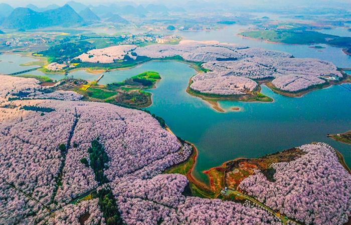 Цветущий сакуры в Китае.