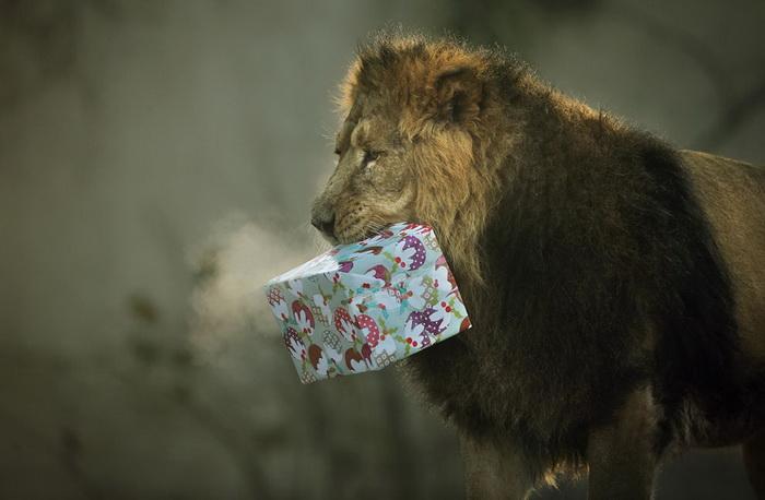 Лев по кличке Люцифер с рождественским подарком (Англия)