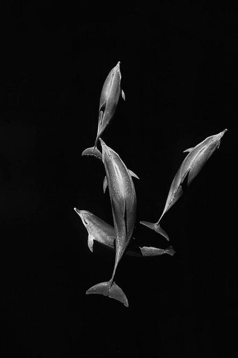 Дельфины на фотографиях Кристофера Сванна