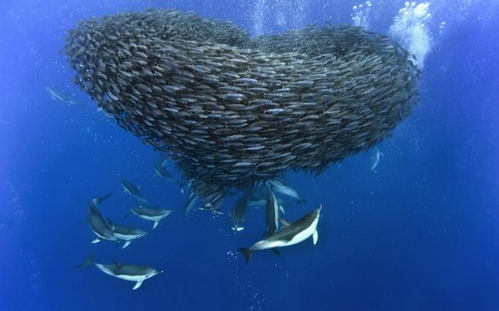 Подводные битвы на фотографиях Кристофера Сванна