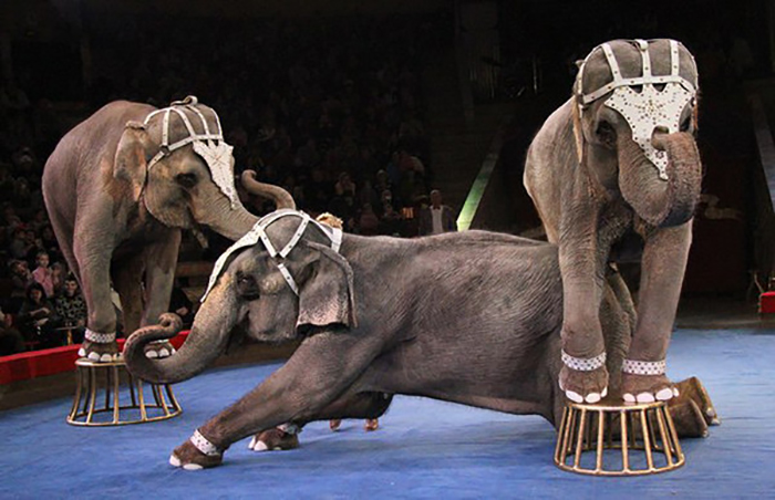 Слоны затоптали Александра Терехова во время тренировки. Фото: pressa.tv