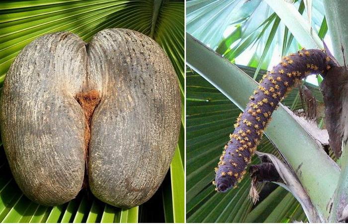 Коко-де-мер - самый необычный кокос на планете.