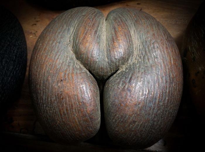 Многие утверждают, что этот кокос по форме напоминает женские ягодицы.