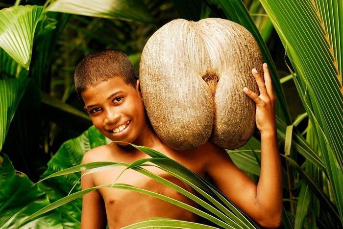 Кокос в среднем весит около 20 кг, но некоторые плоды могут достигать и 40 кг.