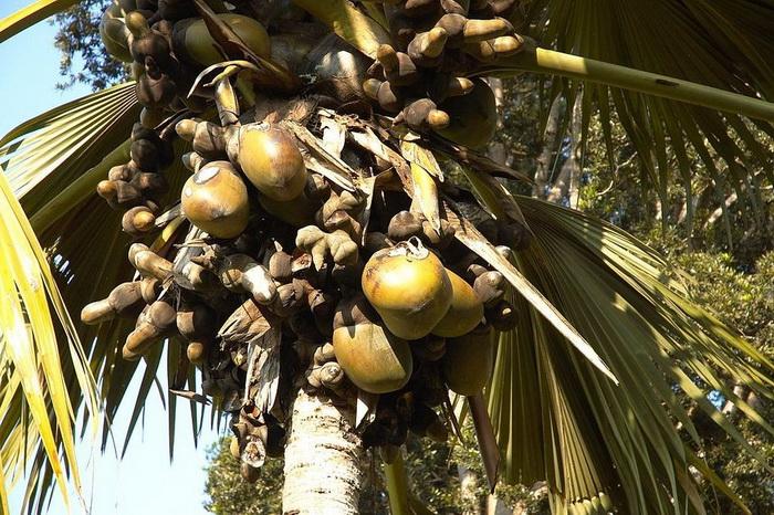 Гигантская пальма коко-де-мер.