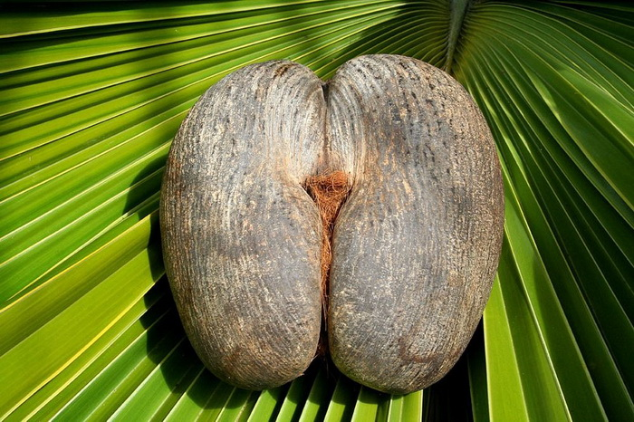 Кокос на фоне огромного пальмового листа.