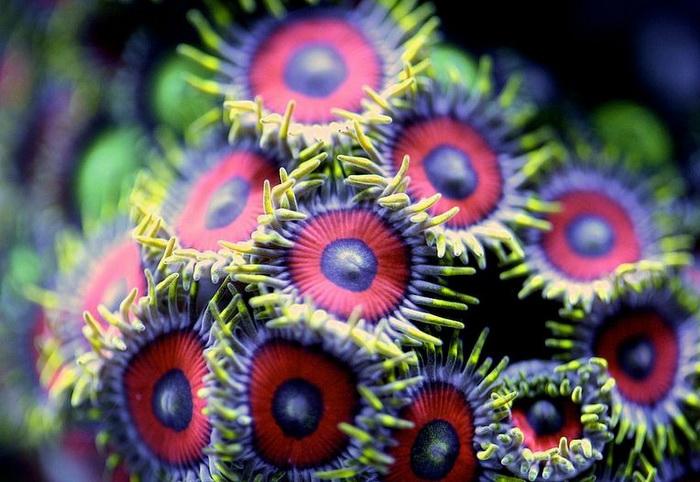 Макросъемка: удивительные коралловые полипы на фотографиях Феликса Салазара