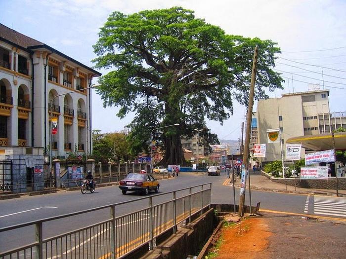 Дерево-долгожитель - исторический символ Сьерра-Леоне