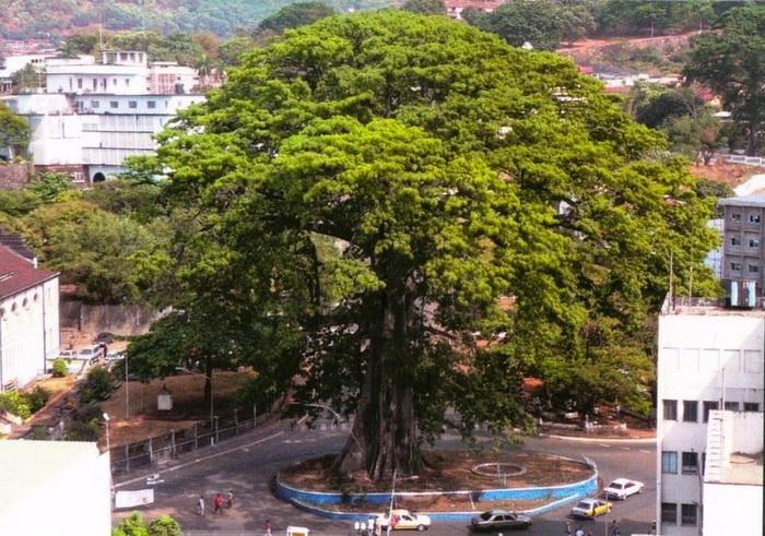 Хлопковое дерево в г.Фритаун