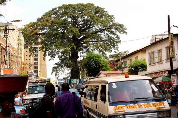 Возраст хлопкового дерева около 500 лет