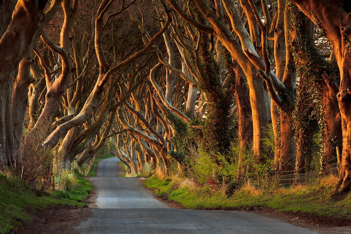 Ирландская буковая аллея Дарк Хэджес (Dark Hedges). Фотограф Przemysław Zdrojewski