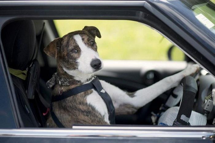 Проект по защите бездомных животных в Новой Зеландии: собаки за рулем авто