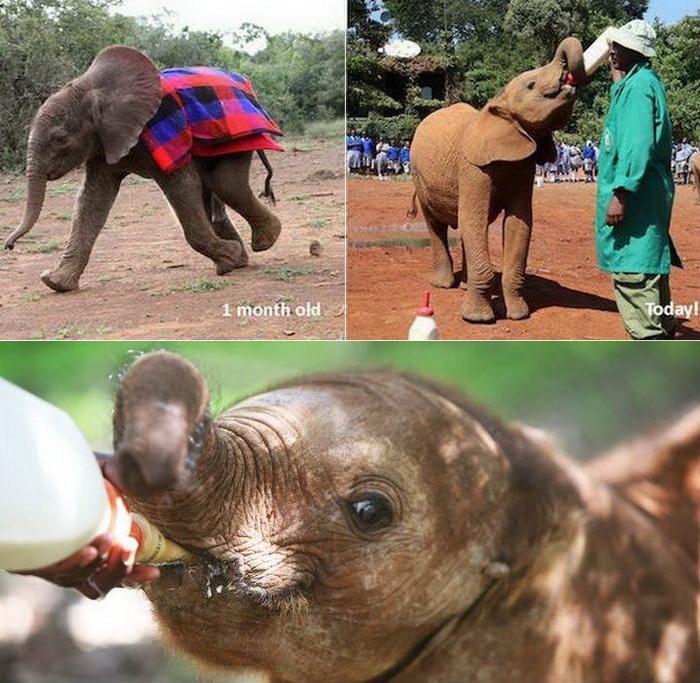 Фонд живой природы Дэвида Шелдрика - детский дом для слонов