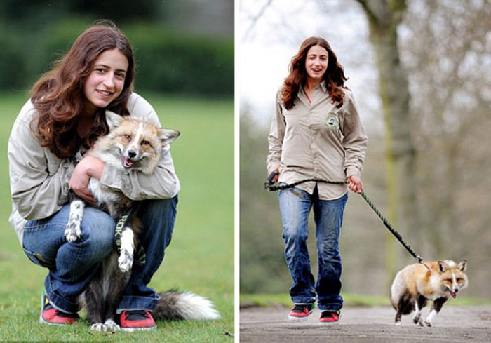 Лиса, которая ведет себя, как собака: самое необычное домашнее животное