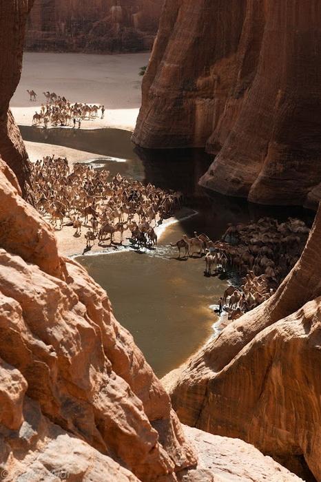 Водопой верблюдов на плато Эннеди