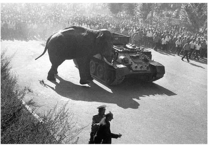Слон толкает танк