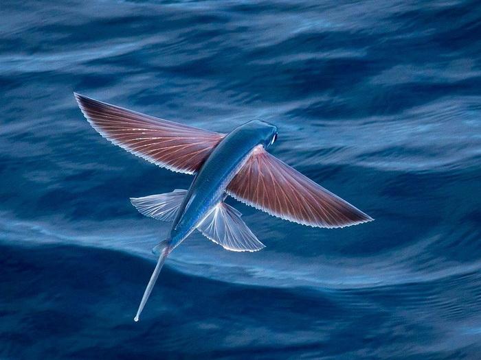 Природный феномен: летающая рыба