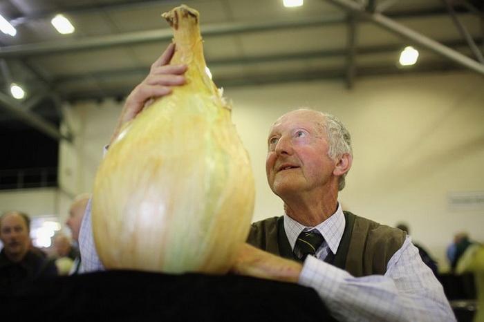Луковица весом в 8,16 кг на осенней выставке цветов и овощей в Харрогейте