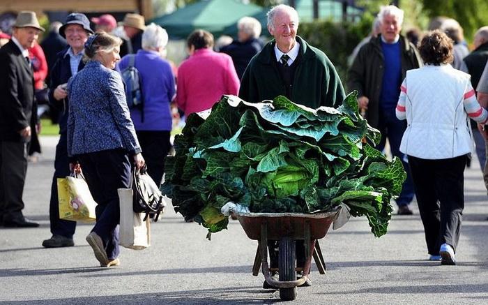 Гигантский вилок капусты на осенней выставке цветов и овощей в Харрогейте