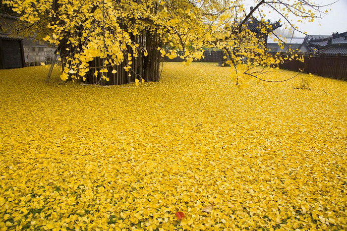 Опавшие листья напоминают золотой океан