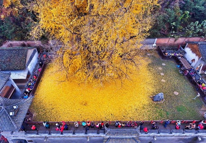 Сотни туристов приезжают посмотреть на волшебную красоту дерева