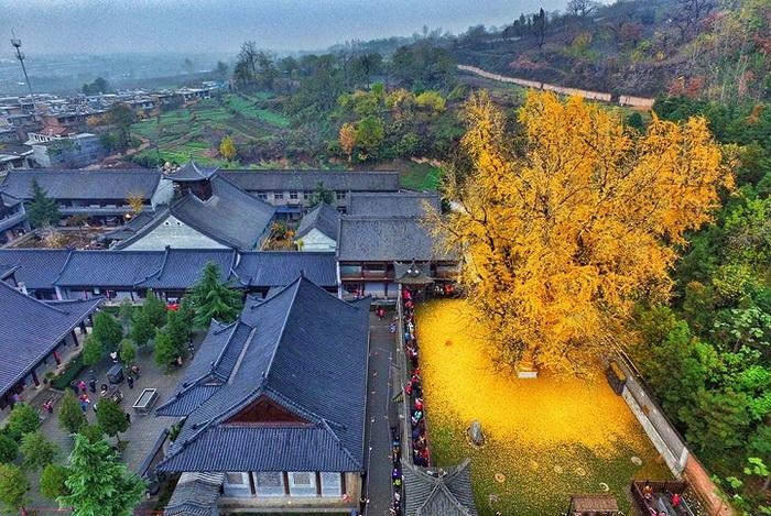 Дерево гинкго билоба считается священным в Китае