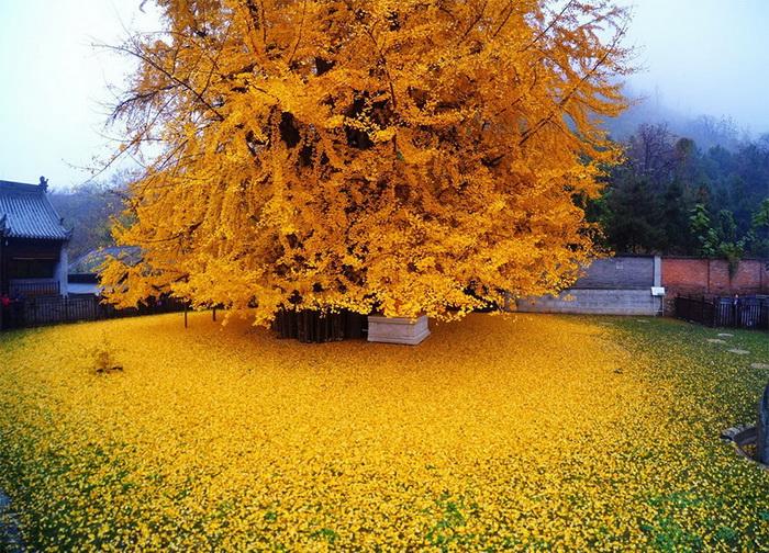 Золотые листья гинкго - старейшего дерева на планете