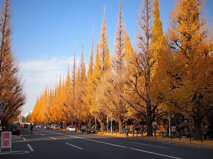 Золотая аллея гингко билоба в Токио (Япония)