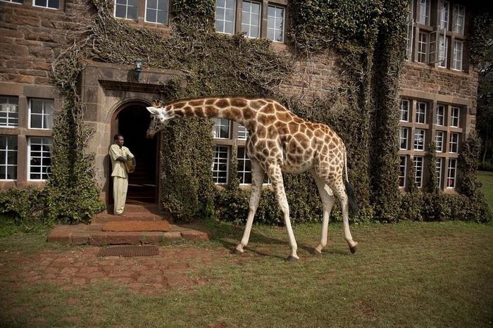 Жирафа можно покормить и погладить прямо из окна своего номера