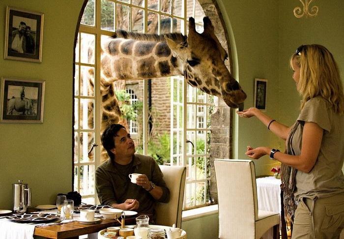 В отеле Giraffe Manor жирафов можно кормить прямо с рук