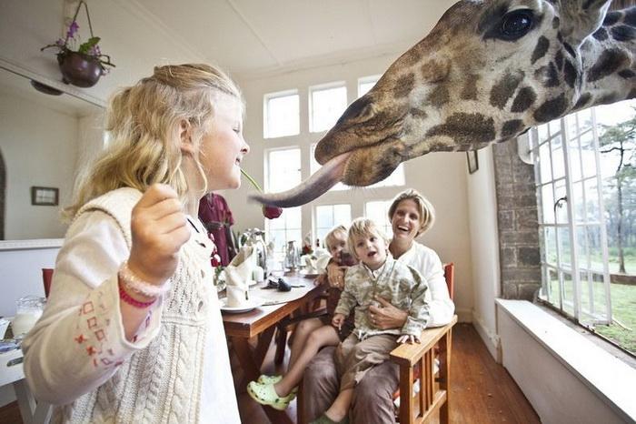 В отеле Giraffe Manor жирафы - желанные гости к завтраку