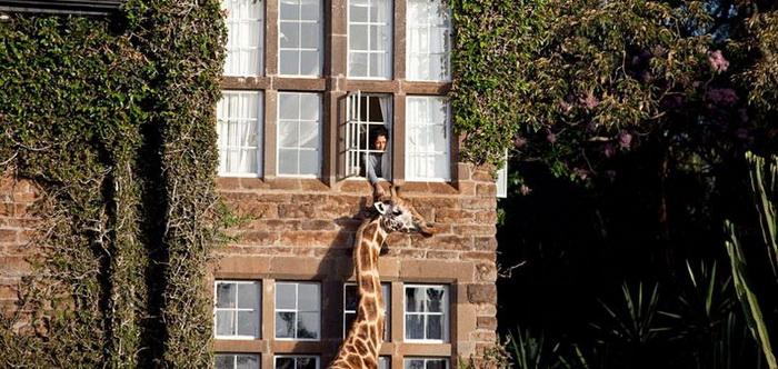 http://www.kulturologia.ru/files/u12645/giraffe-manor-6.jpg