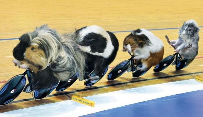 Календарь с изображением морских свинок, вдохновленный Олимпийскими играми в Лондоне