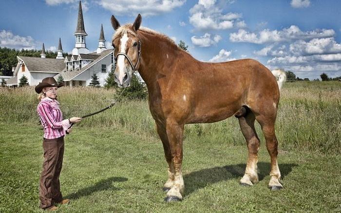 Самый высокий в мире конь по кличке Big Jake