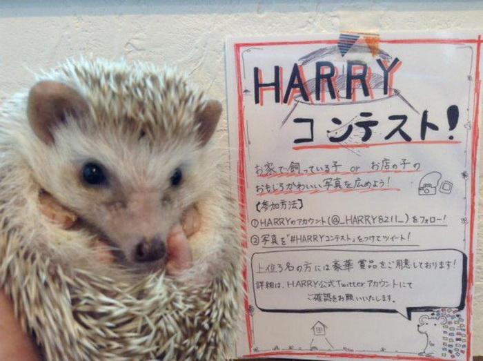 Harry - кафе в Токио, где можно провести время с ежами