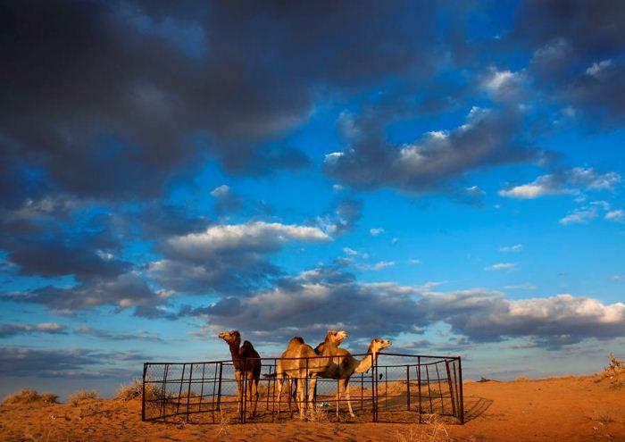 Верблюды на ферме.