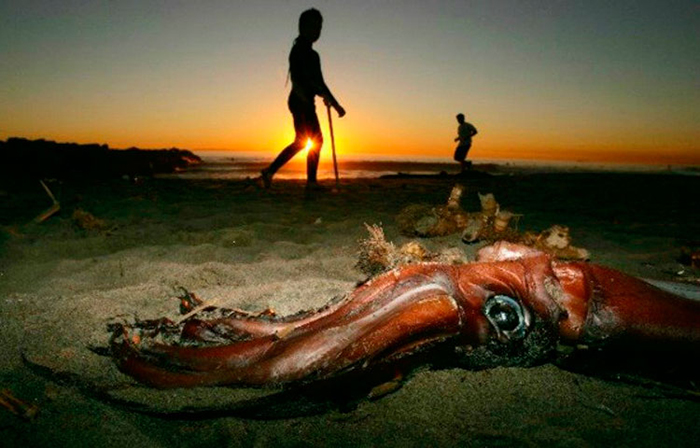 Гигантские кальмары Гумбольдта выбросились на берег.