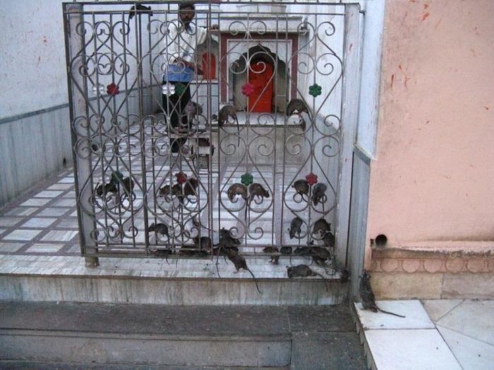 Храм Карни Мата в Индии - дом для 20 000 крыс