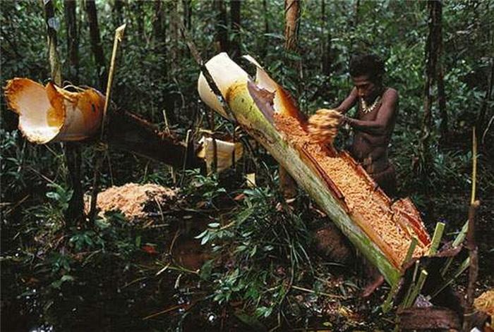 Мука из ствола сагового дерева