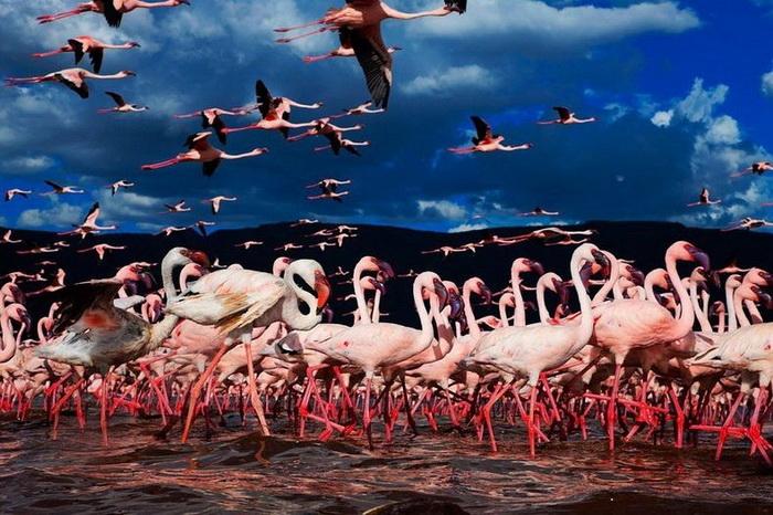 Розовые фламинго в поисках пищи
