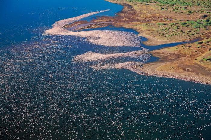 Розовые фламинго летят вдоль берега озера Богория