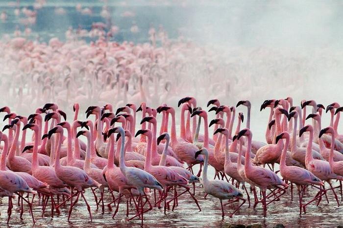 Миллионы розовых фламинго на фотографиях Мартина Харви