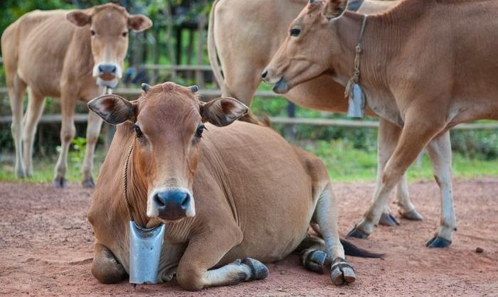 Колокольчик для коров