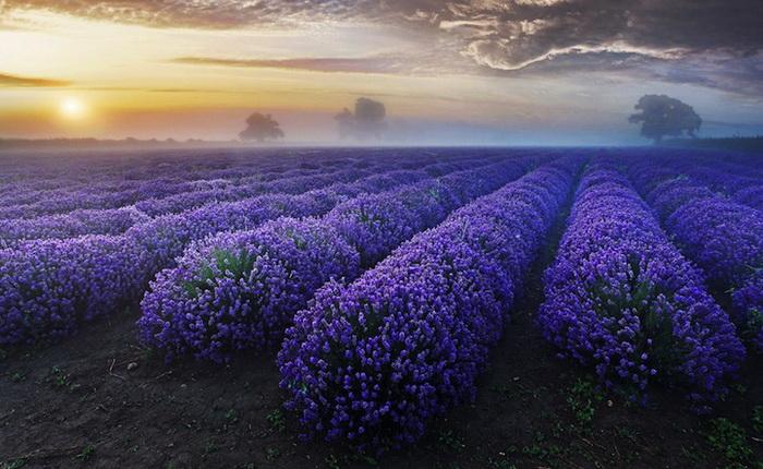 Бескрайние лавандовые поля, запечатленные фотографом Antony Spencer