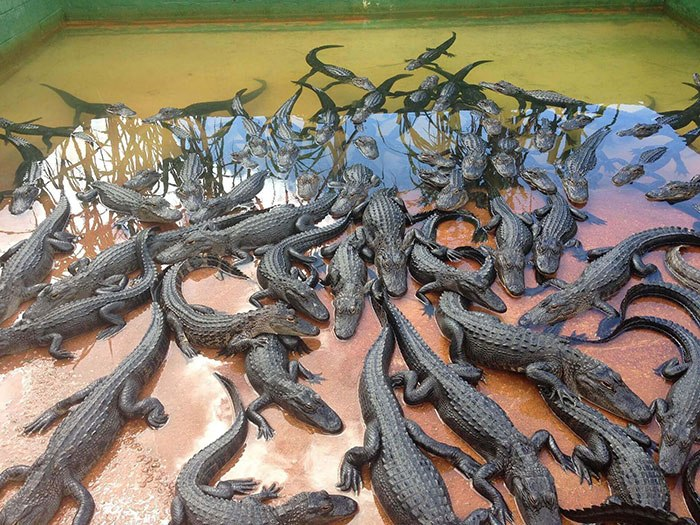 Эти крокодильчики превратяться в сумки