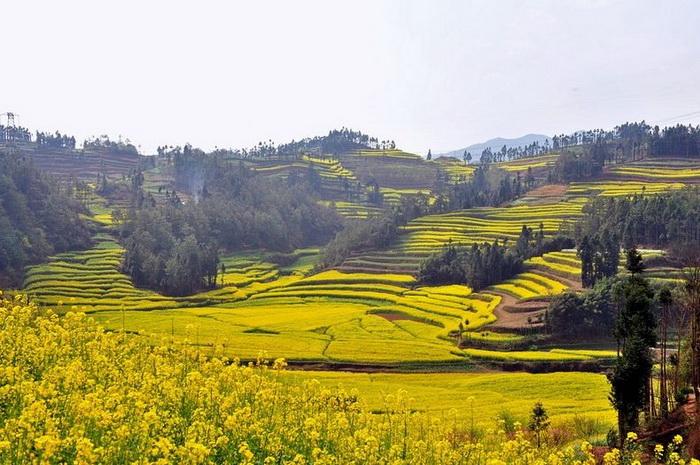 *Золотое море* рапса на полях в Китае