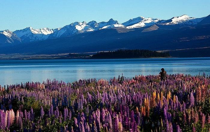 Живописное озеро Текапо и ковер из цветущих люпинов (Новая Зеландия)